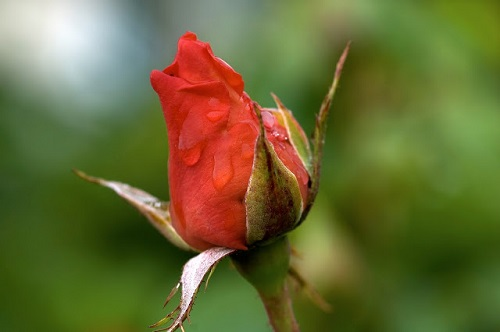 75+ Picture of Rose Image HD photos pics wallpaper