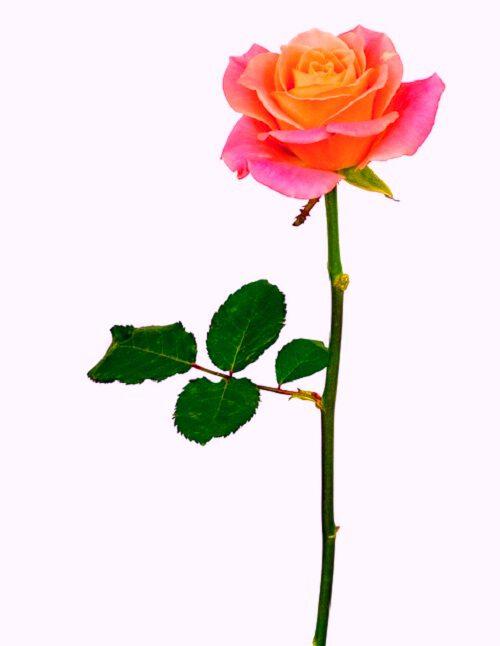 best rose image download for fb