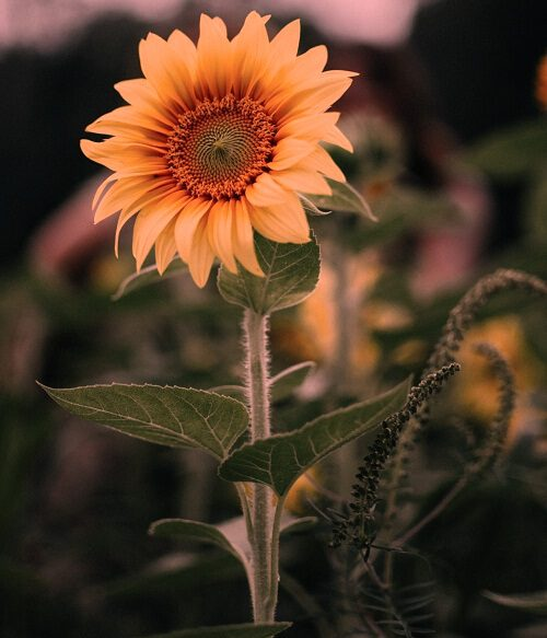 nice pic of sun flower download