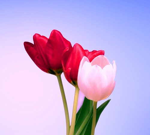 top picture of flower download for Whatsapp